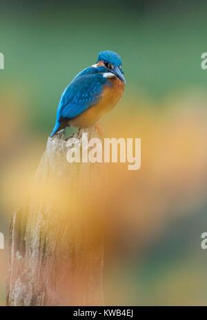 Eurasian Kingfisher - Stock Image