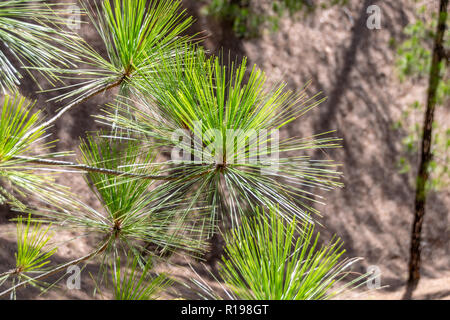 Leaves of the Canary Island Pine Tree (pinus canariensis) - Stock Image