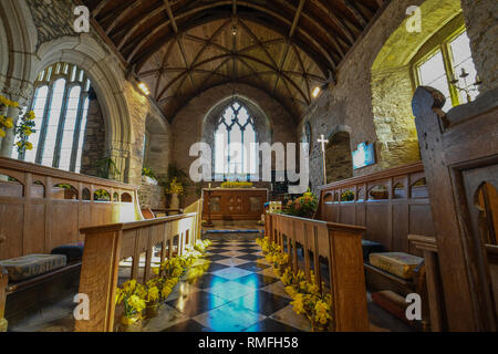 Daffodils inside a small church in Cornwall for a daffodil festival - Stock Image
