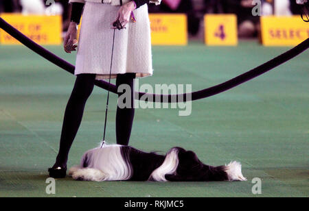 New York, United States. 11th Feb, 2019. Westminster Dog Show - New York City, 11 February, 2019: A Tibetan Terrier rests while awaiting judging during the Best of Breed Competition at the 143rd Annual Westminster Dog Show in New York City/ Credit: Adam Stoltman/Alamy Live News - Stock Image