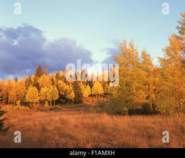 Aspens - Stock Image