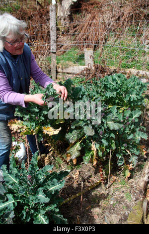 Brassica oleracea 'Purple Sprouting' Broccoli harvesting mature sprouts - Stock Image
