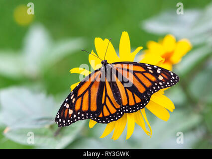 Monarch butterfly Danaus plexippus with wings open over a flower - Stock Image