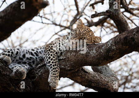 Leopard Panthera pardus sleeping in the forked branches of a large tree in the heat of the day in Ndutu Tanzania, East Africa - Stock Image