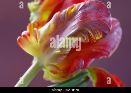 opening red parrot tulip still life - radiant new life Jane Ann Butler Photography  JABP1799 - Stock Image
