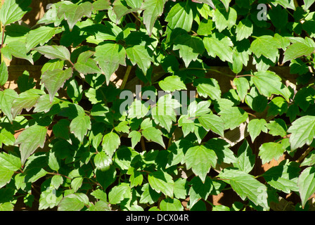 Clematis foliage in bright sunlight - Stock Image