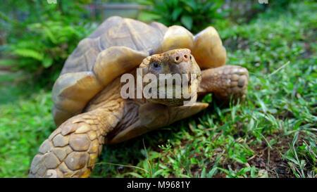A giant turtle tortoise relaxing in green grass, Santa Cruz Island, Galapagos, Ecuador - Stock Image