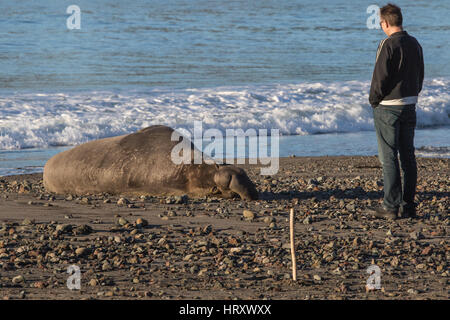 A man standing very close to a wild Northern Elephant Seal on a beach in central California - Stock Image
