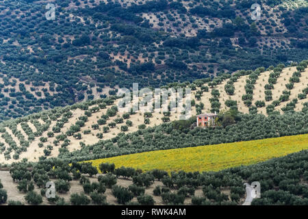 Olive trees on an olive farm; Cazorla, Jaen province, Spain - Stock Image