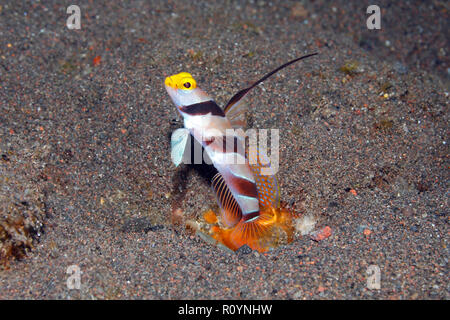 Black-ray goby, Stonogobiops nematodes. See below for more information. - Stock Image