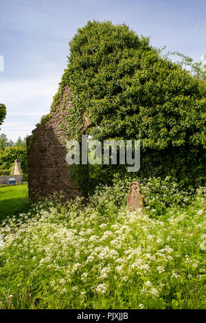 Ireland, Co Leitrim, Manorhamilton, overgrown ivy-clad ruins of old Anglican church amongst meadowsweet flowers - Stock Image