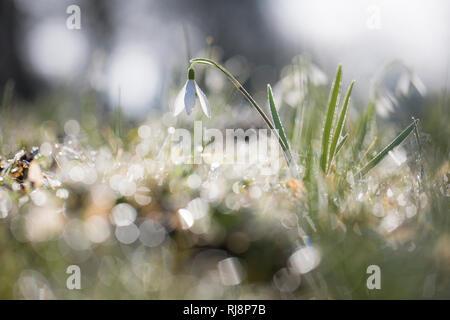 Schneeglöckchen, Galanthus, Morgentau, Gegenlicht, Reflektionen - Stock Image