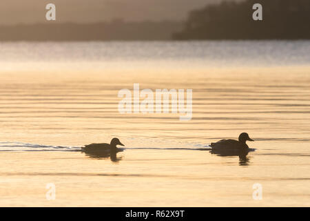 Sallochy Bay, Loch Lomond, Scotland, UK - 3 December 2018: UK weather - stunning sunrise at Sallochy Bay, Loch Lomond.  Sunshine is for most of the day Credit: Kay Roxby/Alamy Live News - Stock Image