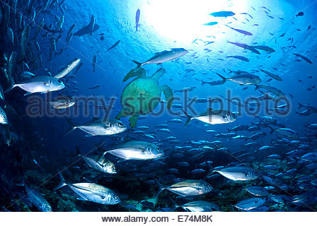 Seaturtle swimming with school of fish - Stock Image