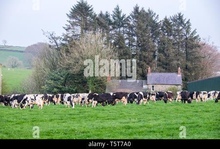 Dairy,cows,grazing,graze,in,green,grass,field,prior,to,milking,milk,production,farm,countryside,near,Llandysul,Ceredigion,Wales,Mid Wales,Welsh,UK,U.K - Stock Image