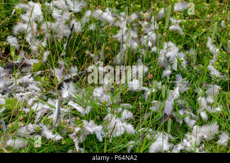 Feathers remaining from a pigeon killed by wild animal - Stock Image