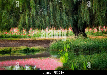 Pond, weeping willow and poppies. Near Silverton. Oregon - Stock Image
