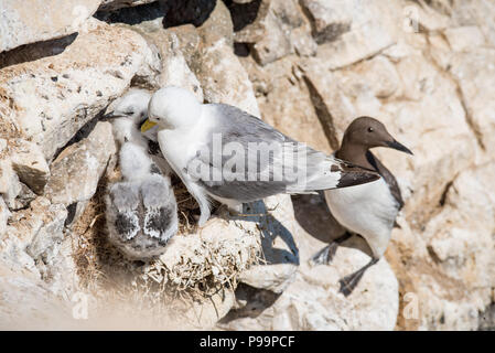 European herring gull - Stock Image