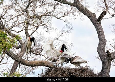 Jabiru Stork, Jabiru mycteria, pair with chicks in a nest in the Pantanal, Mato Grosso, Brazil, South America - Stock Image