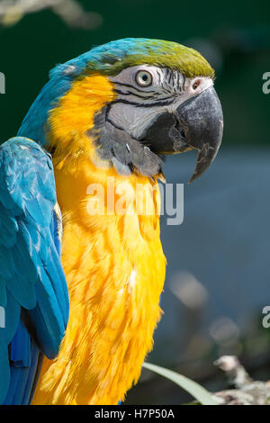Close up of a blue and yellow Hyacinth Macaw. - Stock Image