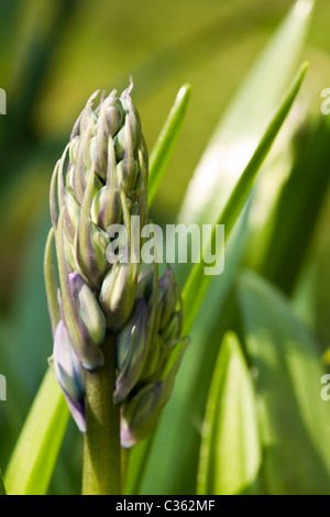 Single bluebell bud close up just before flowering. - Stock Image