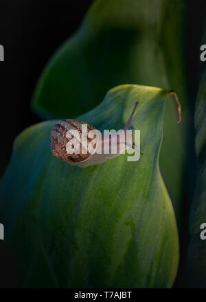 Close-up of a common garden slail, Cornu aspersum, on a green leaf, top side view, a serious introduced garden pest in California, USA - Stock Image