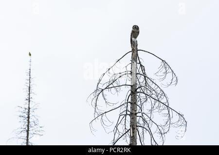 Northern Hawk Owl, Surnia ulula, on a dead tree top, Jasper national Park, Alberta, Canada - Stock Image