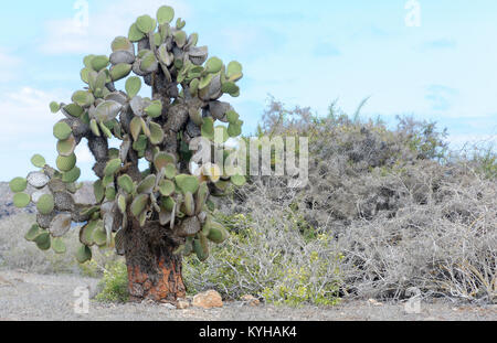Plants of opuntia or  prickly pear (Opuntia echios var. echios) grow in the arid zone of Isla Plaza Sur among thorny - Stock Image