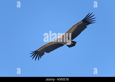 Eurasian griffon vulture (Gyps fulvus) juvenile in flight. Gamla, Golan Heights, Israel. January 2015. - Stock Image