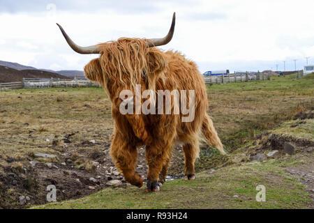 Highland cattle, Applecross Peninsula, Wester Ross, Highland Region, Scotland - Stock Image