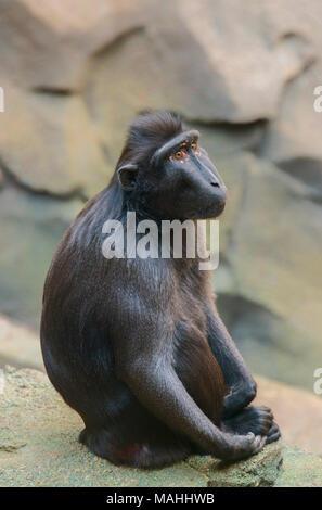 Sulawesi Macaque - Stock Image