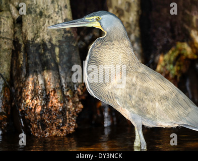A bare-throated Tiger-heron wading in a lagoon in Totuguero National Park in Costa Rica. - Stock Image