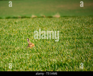 Brown hare, Lepus europaeus, with its head poking up above grass crop field in Spring sunshine, East Lothian, Scotland, UK - Stock Image