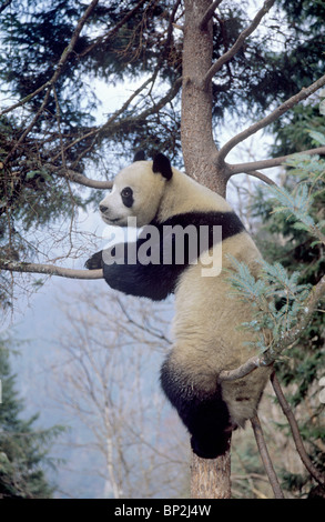 Giant panda rests in a tree, Wolong China - Stock Image