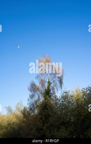 Silver birch in autumn Milton park Cambridge 10/11/2018 - Stock Image