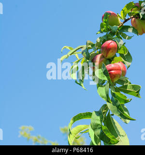 Branch of a nectarine tree full of ripe fruits, against a bright blue sky. - Stock Image