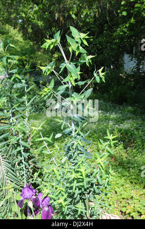 Caper spurge - Stock Image