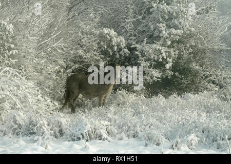 Horse standing in snow covered winter landscape, County Mayo, Republic of Ireland. - Stock Image