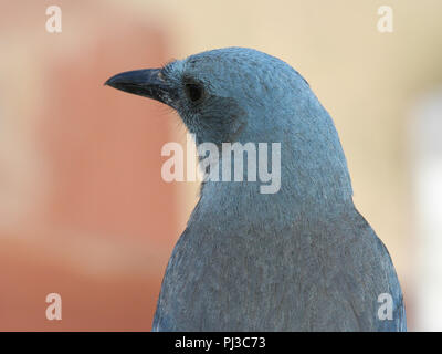 Portrait of a Mexican jay from the Santa Rita Mountains of southern Arizona, USA. - Stock Image