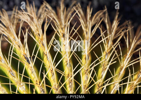 Close up cactus plant spines - Stock Image