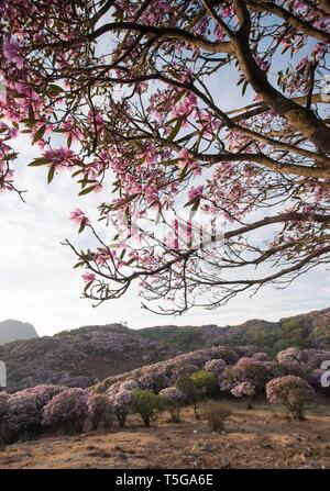 Chengdu. 24th Apr, 2019. Photo taken on April 24, 2019 shows blooming wild rhododendrons in Yanbian County of Panzhihua City, southwest China's Sichuan Province. Over 100,000 mu (66,667 hectares) wild rhododendrons are in bloom in Yanbian County from February to May. Credit: Jiang Hongjing/Xinhua/Alamy Live News - Stock Image