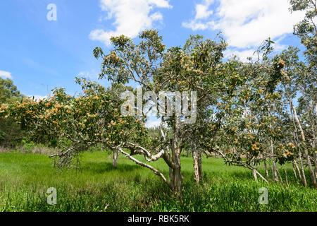 Blooming Paperbark Trees at Abattoir Swamp, a popular birdwatching spot, Atherton Tablelands, Far North Queensland, FNQ, QLD, Australia - Stock Image