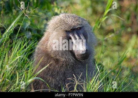 Olive Baboon, Papio Anubis, Queen Elizabeth National Park, Uganda - Stock Image