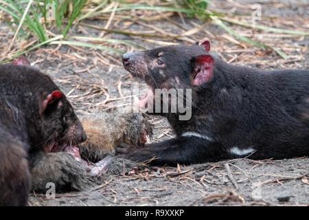 Tasmanian Devil (Sarcophilus harrisii) in captivity on the Feycinet Peninsular, Tasmania as part of a conservation effort - Stock Image