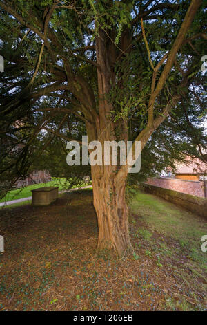 One of the ancient yew trees at Saint Mary the Virgin Church Overton on Dee North Wales one of the seven wonders of Wales - Stock Image