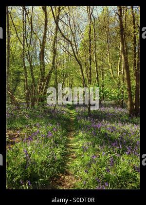 Blue Bell Woods in May - Stock Image