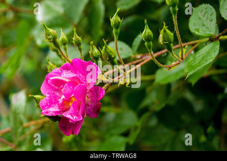 A pink rose growing in a garden in north west Italy. It is wet from recent rain - Stock Image