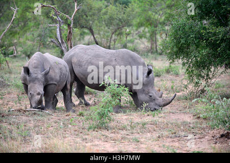 White  rhinoceros note is actually grey ,Kruger National Park (KNP) in the typical scrub land  around  Satara rest - Stock Image