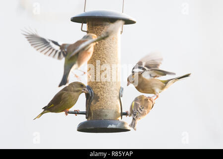 Stirlingshire, Scotland, UK - 13 December 2018: uk weather - garden birds squabbling round a feeder in a Stirlingshire garden during a brief spell of afternoon sunshine on an otherwise dull and cold day Credit: Kay Roxby/Alamy Live News - Stock Image
