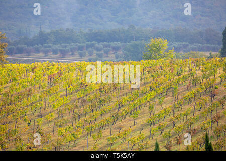 Tuscan vineyard in the countryside outside Siena in Tuscany,Italy - Stock Image